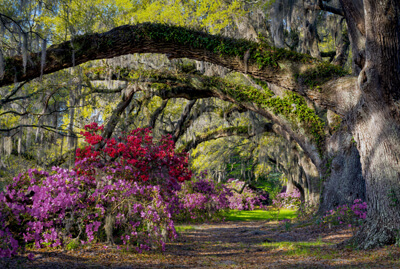 Live oaks draped in Spanish moss
